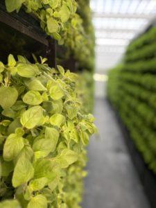 Indoor-Farming Bubenheim / MABEWO AG Schweiz