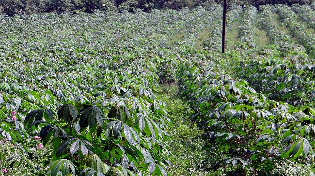 Maniok – Die Kartoffel der Tropen gegen den Welt Klimawandel / Pixabay