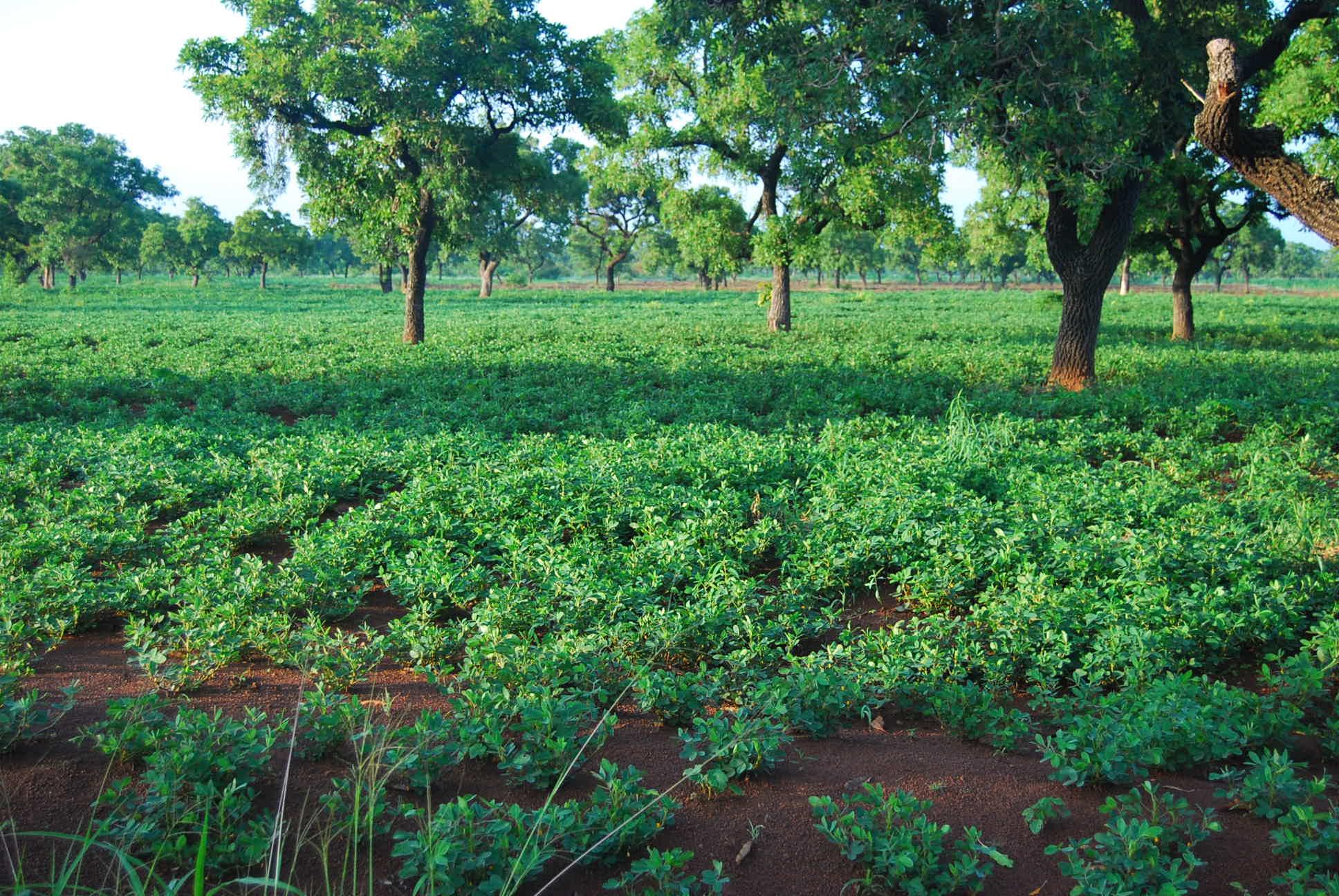Maniok - Grundnahrung für 1 Milliarde Menschen weltweit