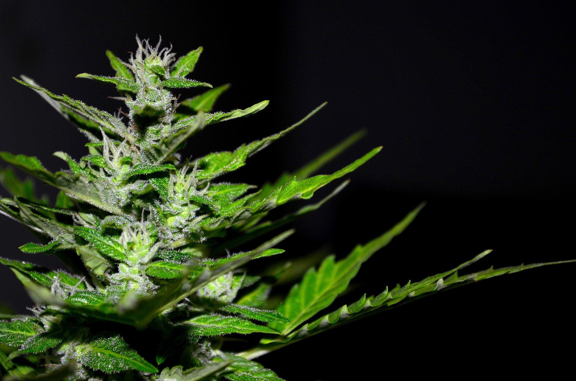 Cannabis ein Werkzeug des Teufels? Pharmaindustrie versus Naturheilkunde